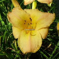 Hemerocallis 'Barbados' C3L