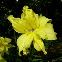 Hemerocallis 'Double River Wye' C3L
