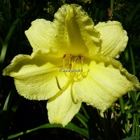 Hemerocallis 'Fragrant Returns' C3L