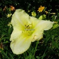 Hemerocallis 'Mykonos' C3L