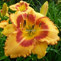 Hemerocallis 'All Fired Up' C3L