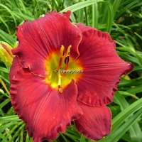 Hemerocallis 'Forever Red' C3L