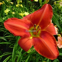 Hemerocallis 'James Marsh' C3L