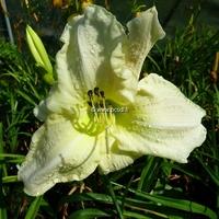 Hemerocallis 'White Temptation' C3L