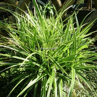 Carex morrowii 'Ice Dance' C3L