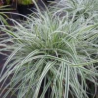 Carex oshimensis 'Albomarginata' C3L