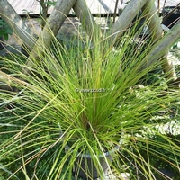 Carex testacea C3L