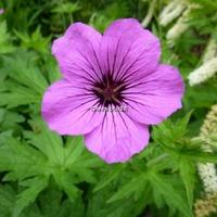 Geranium 'Patricia' C3L