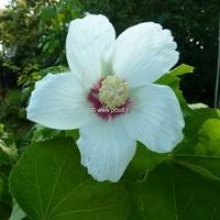 Hibiscus paramutabilis 80/100 C3L