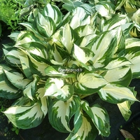 Hosta 'Fire & Ice' C3L