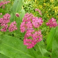 Achillea millifolium 'Cerise Queen' C3L