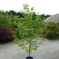 Cinnamomum camphora 150/200 C15L