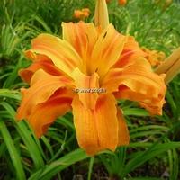 Hemerocallis fulva 'Flore Pleno' C3L