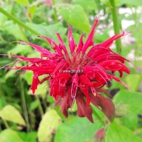 Monarda 'Cambridge Scarlet' C3L