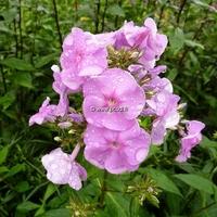 Phlox maculata 'Alpha' C3L