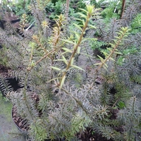 Podocarpus lawrencei 'Purple King' 40/50 C4L