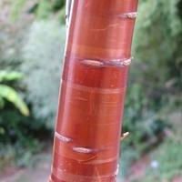 Prunus serrula 175/200 C5L