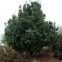 Quercus glauca 40/60 C4L