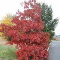 Quercus palustris 125/150 C4L