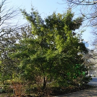 Quercus phillyreoides 80/100 C4L