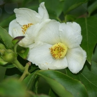Stewartia sinensis 60/80 C4L