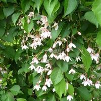 Styrax japonicus 'Benibana Pendula' 30/40 C3L