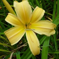 Hemerocallis 'Satin Glass' C3L