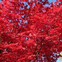 Acer palmatum 'Atropurpureum' de semis