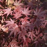 Acer palmatum 'Fireglow' 40/60 C5L