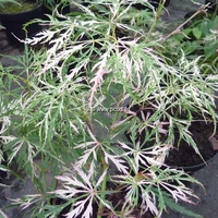 Acer palmatum dissectum 'Hana Matoi' 30/40 C5L