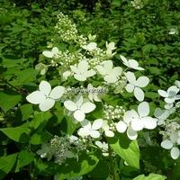 Hydrangea paniculata 'Confetii' C4L 30/40