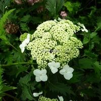 Hydrangea arborescens 'Emerald Lace' 30/40 C4L