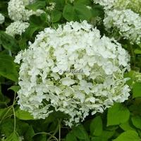 Hydrangea arborescens 'Puffed Green' 40/60 C4L