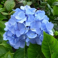 Hydrangea macrophylla 'Blue Diamond' 20/40 C4L