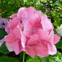 Hydrangea macrophylla 'Dolce Farfalle' ® 20/40 C4L