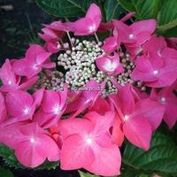 Hydrangea macrophylla 'Grasmücke' 20/40 C4L