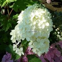 Hydrangea paniculata 'Little Lamb' ® C4L 30/40
