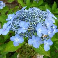 Hydrangea serrata 'Bleuet' 20/40 C4L