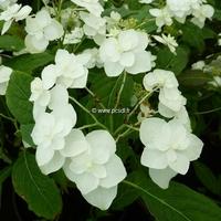 Hydrangea serrata 'Shirotae' 20/40 C4L