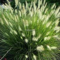 Pennisetum alopecuroides 'Hameln' C3L