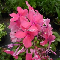 Phlox paniculata 'Elisabeth Arden' C3L