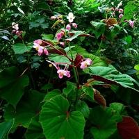 Begonia grandis ssp. evansiana C3L