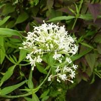 Centranthus ruber 'Albus' C3L