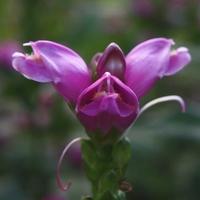 Chelone obliqua 'Rosea' C3L