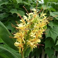 Hedychium gardnerianum C3L