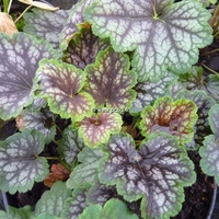 Heuchera 'Beauty Colour' C3L