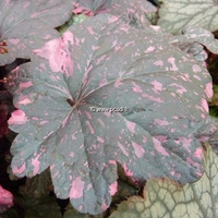 Heuchera 'Midnight Rose' C3L