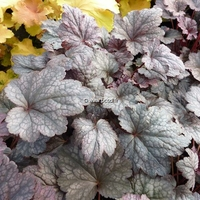 Heuchera 'Plum Pudding' ® C3L