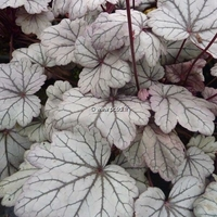 Heuchera 'Sugar Plum' C3L