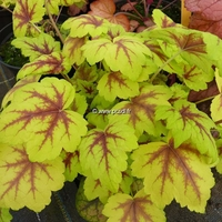 Heucherella 'Stoplight' ® C3L